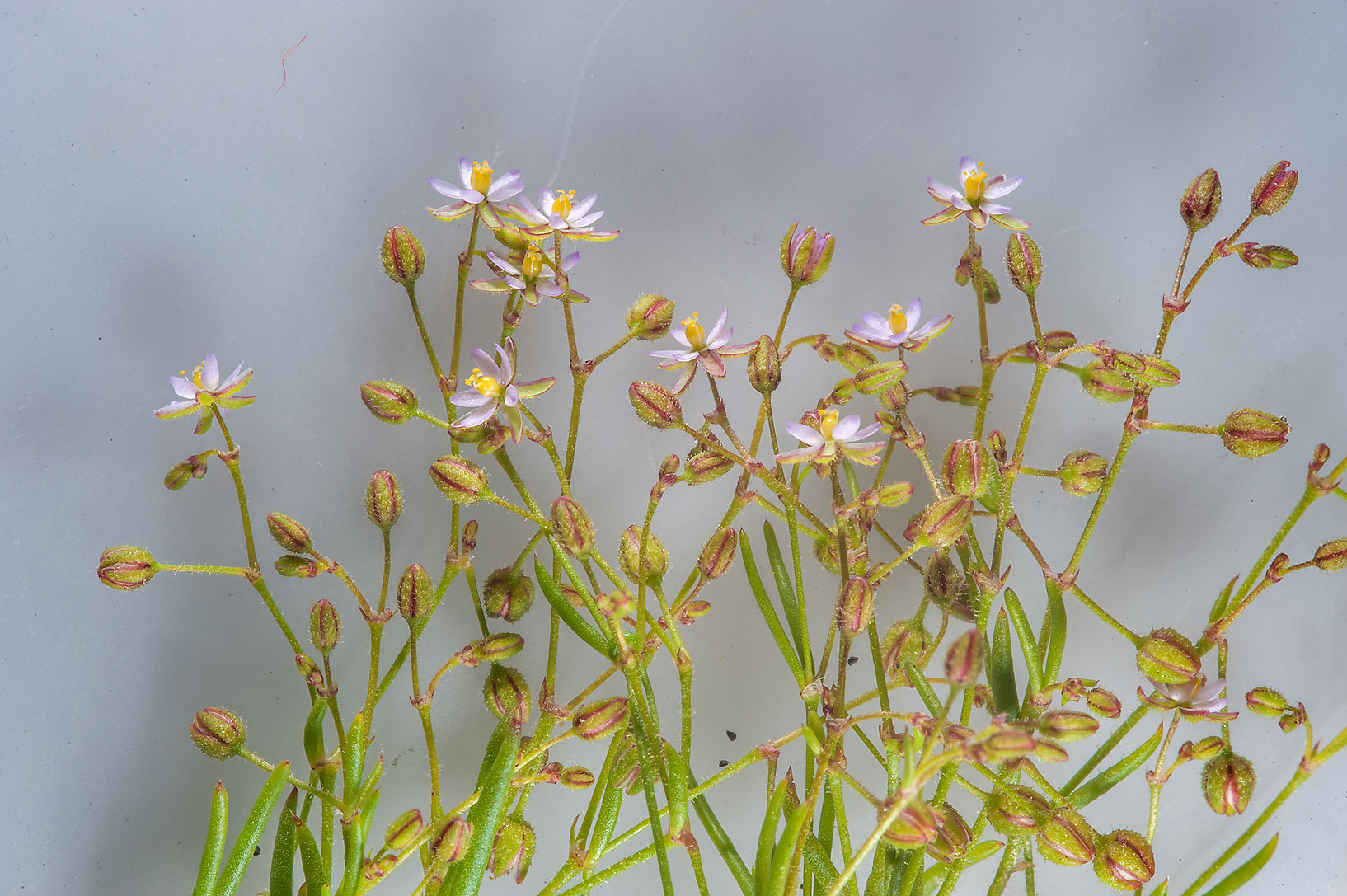 Sand Spurry (Spergularia diandra, Arenaria...water treatment plant. Al Khor, Qatar