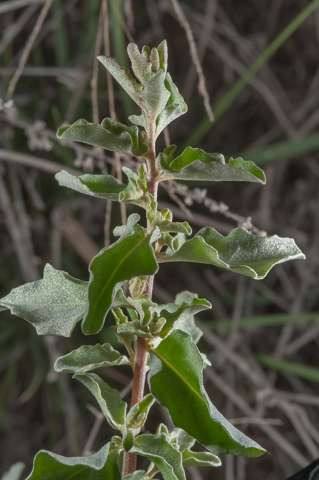 Atriplex leucoclada in a roadside depression east...water treatment plant. Al Khor, Qatar