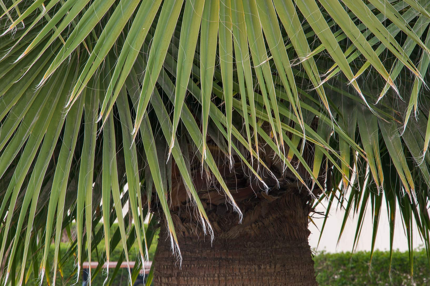 Desert fan palm (Washingtonia filifera or may be...near a corner with Onaiza. Doha, Qatar