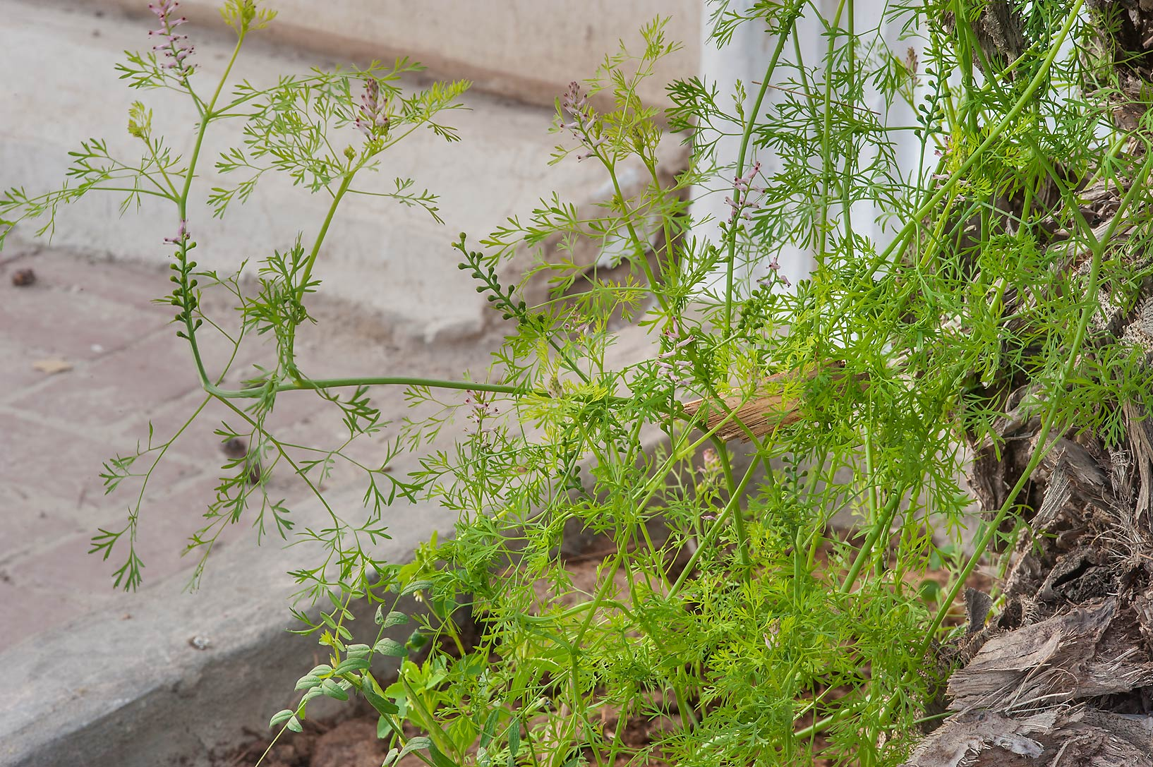 Fineleaf fumitory (Fumaria parviflora or may be F...St. in Onaiza area. Doha, Qatar