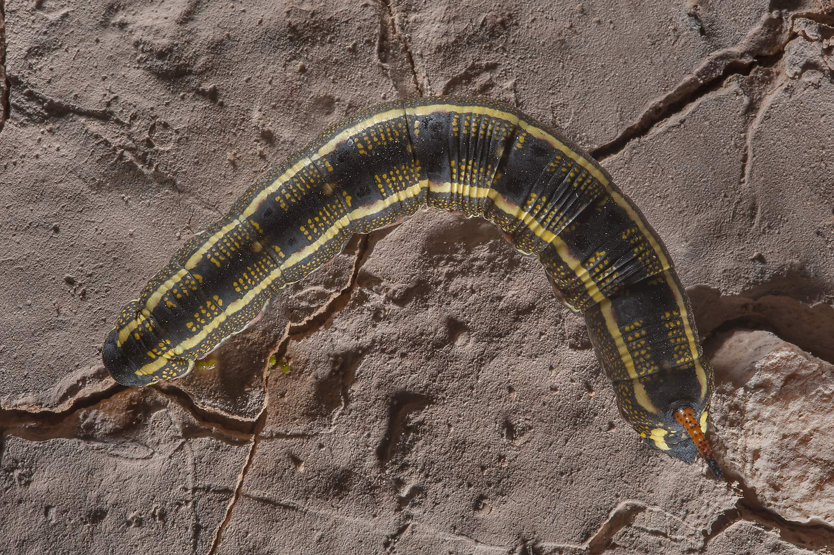 Striped Hawkmoth caterpillar (Hyles livornica) in...near Route 77 to Ras Laffan. Qatar