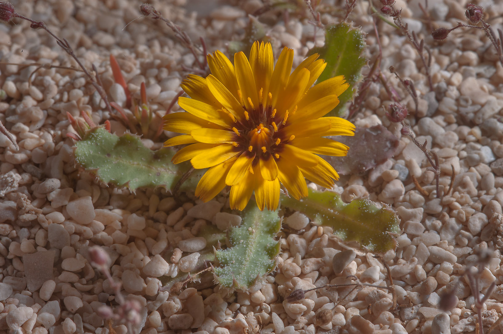 Flower of false sowthistle (Reichardia tingitana...of Jebel Fuwairit. Northern Qatar