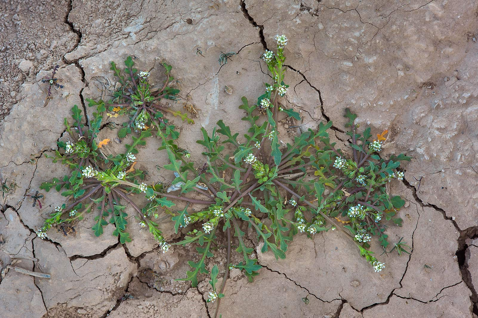 Blooming plant of pepper-grass (Lepidium aucheri...of Al Magdah farms. Northern Qatar