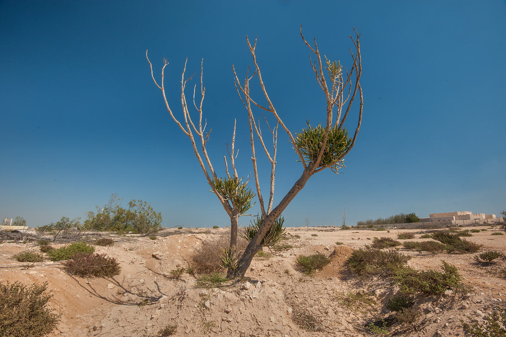 Pencil tree (Euphorbia tirucalli) in abandoned...Ras Laffan farms. North-eastern Qatar