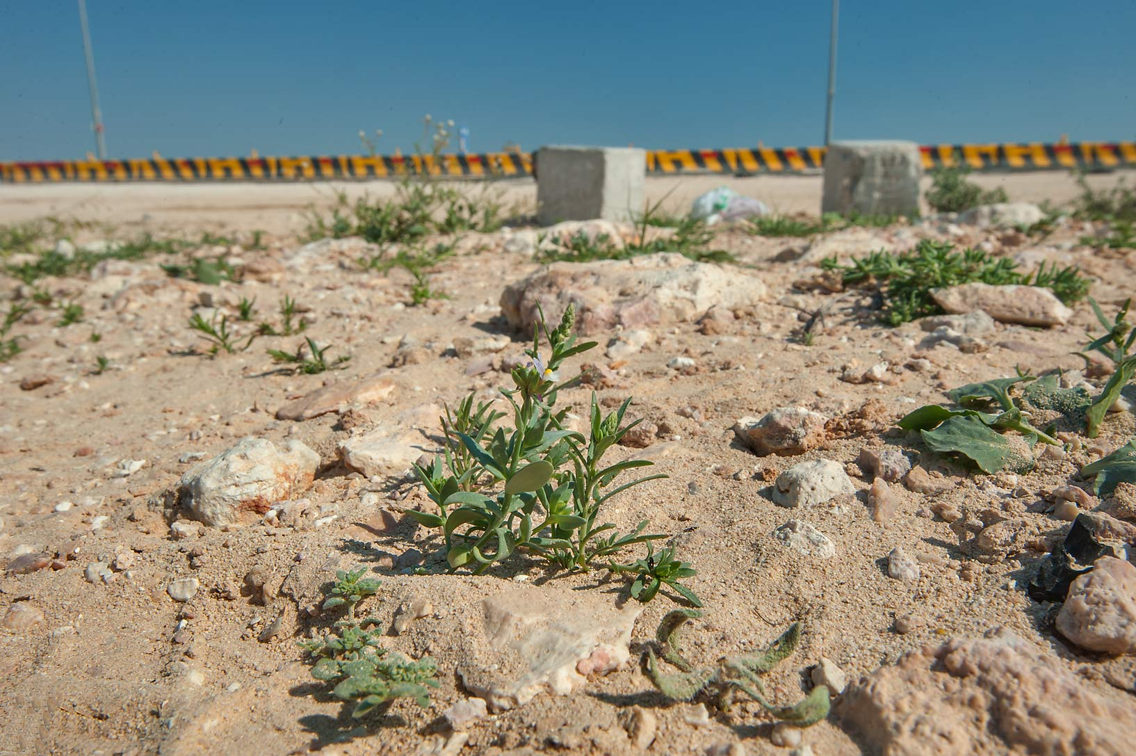 Wide angle view of plants of Linaria albifrons on...from Ras Laffan. North-eastern Qatar