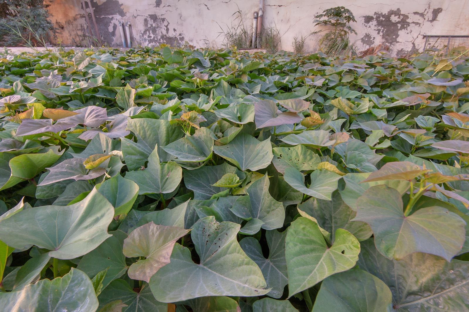 Leaves of cultivated sweet potato (Ipomoea...St. in Al Lejbailat area. Doha, Qatar