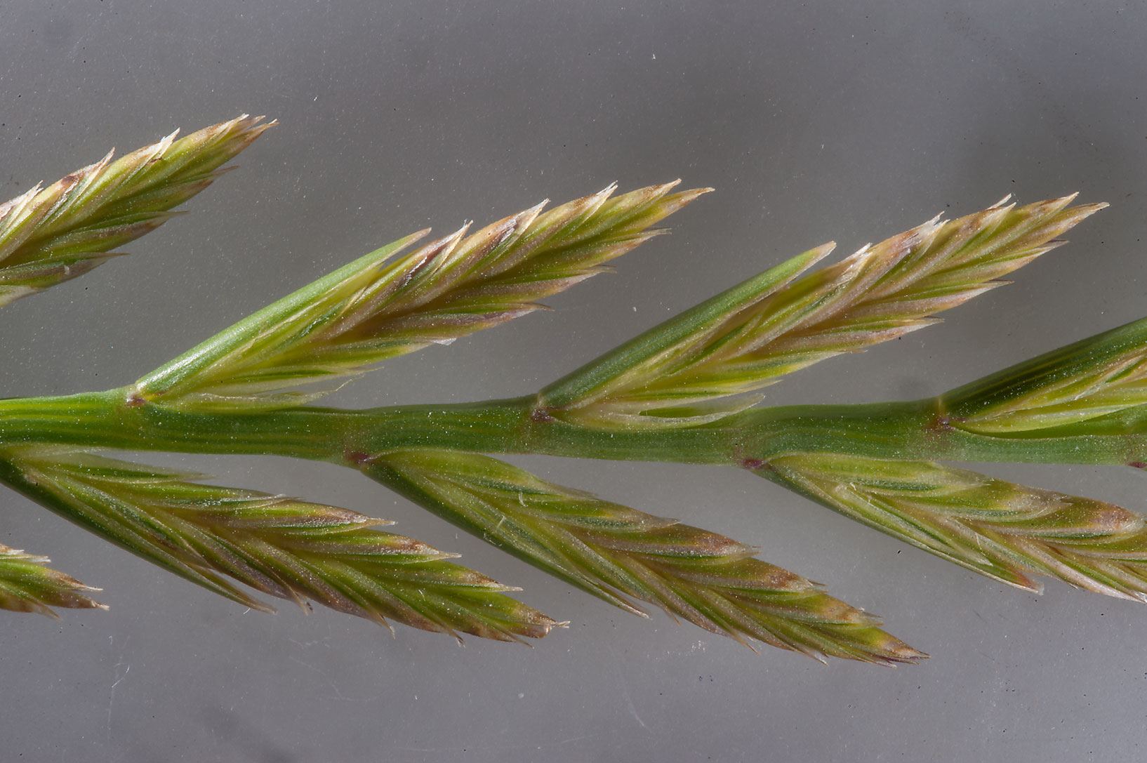 Spikes of rigid ryegrass (Lolium rigidum...in Irkhaya (Irkaya) Farms. Qatar