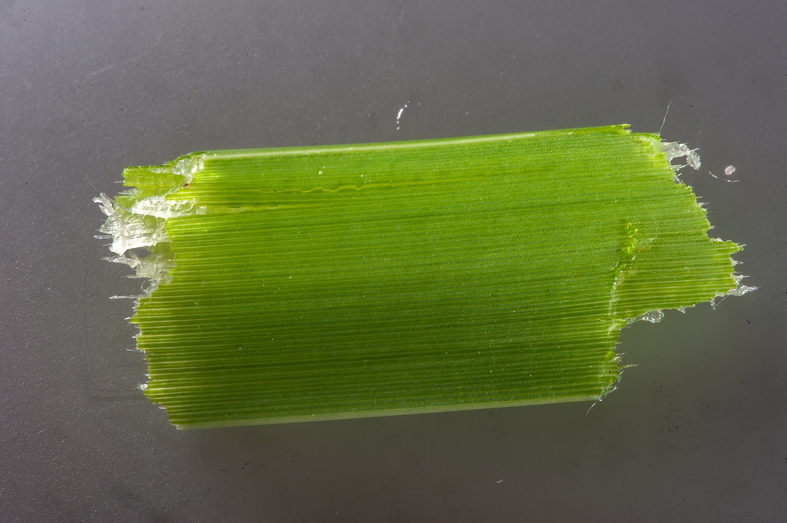 Close up of base of a leaf of southern cattail...in Irkhaya (Irkaya) Farms. Qatar