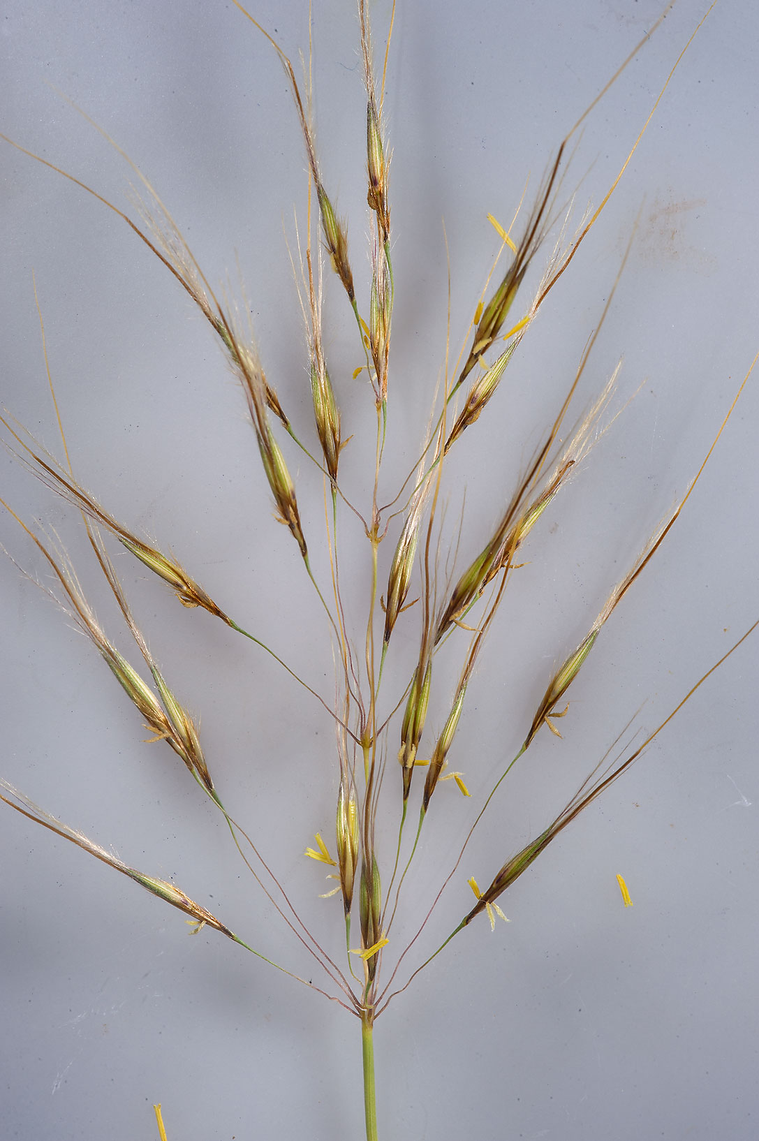 Spikelets of grass Chrysopogon plumulosus on...near Sawda Natheel Rd.. Southern Qatar