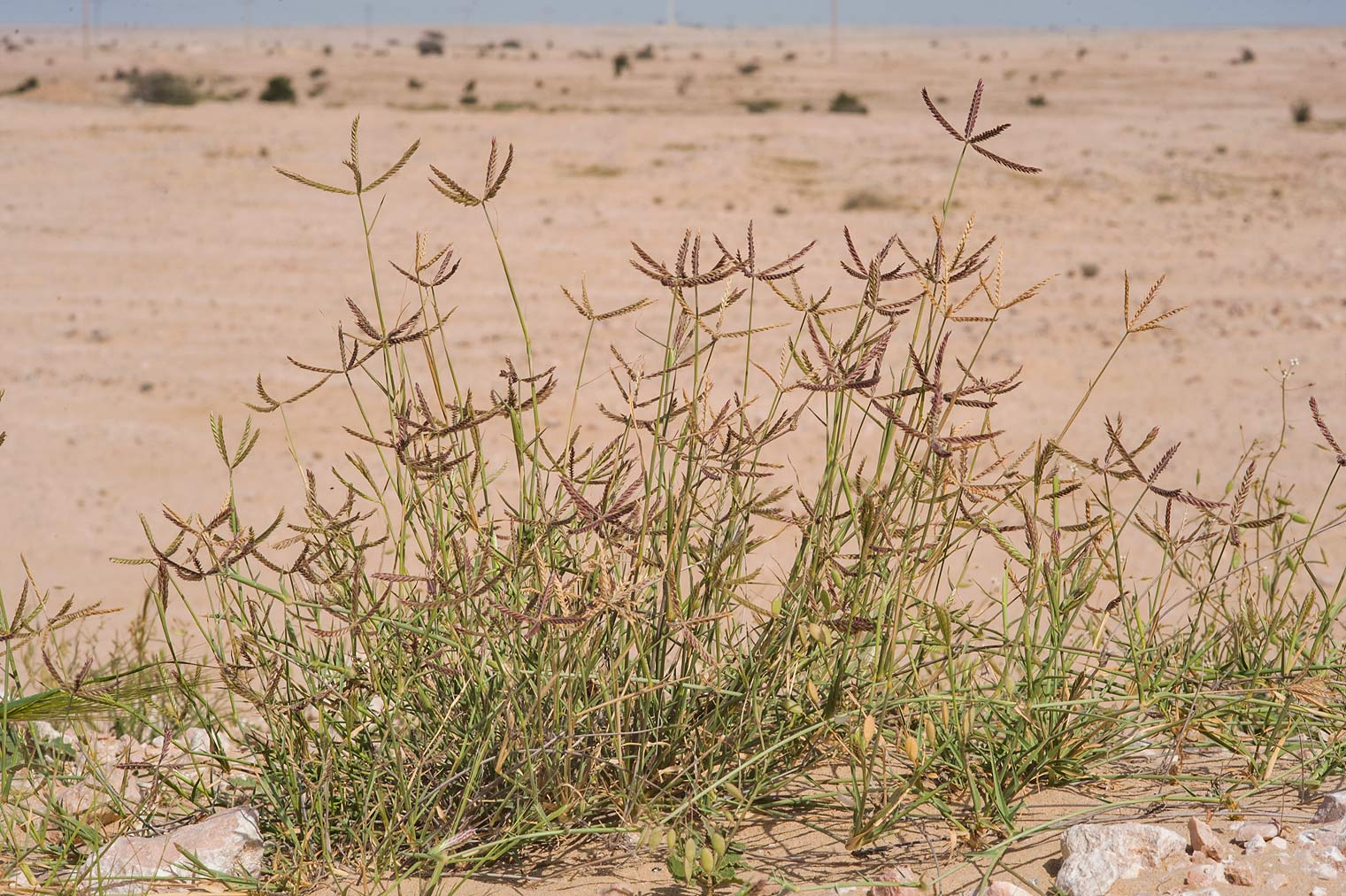 Wire grass Ochthochloa compressa (local name...of Sawda Natheel Rd.. Southern Qatar