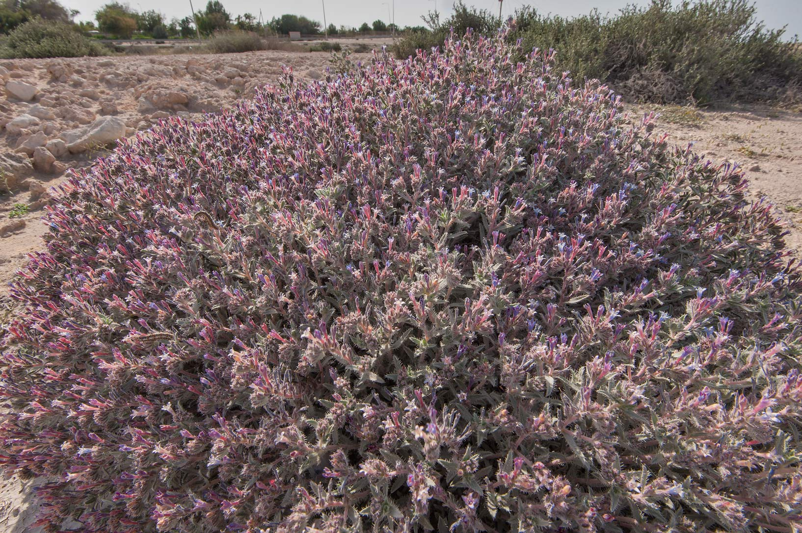 Large blooming bush of Moltkiopsis ciliata...near Umm Bab in south-western Qatar