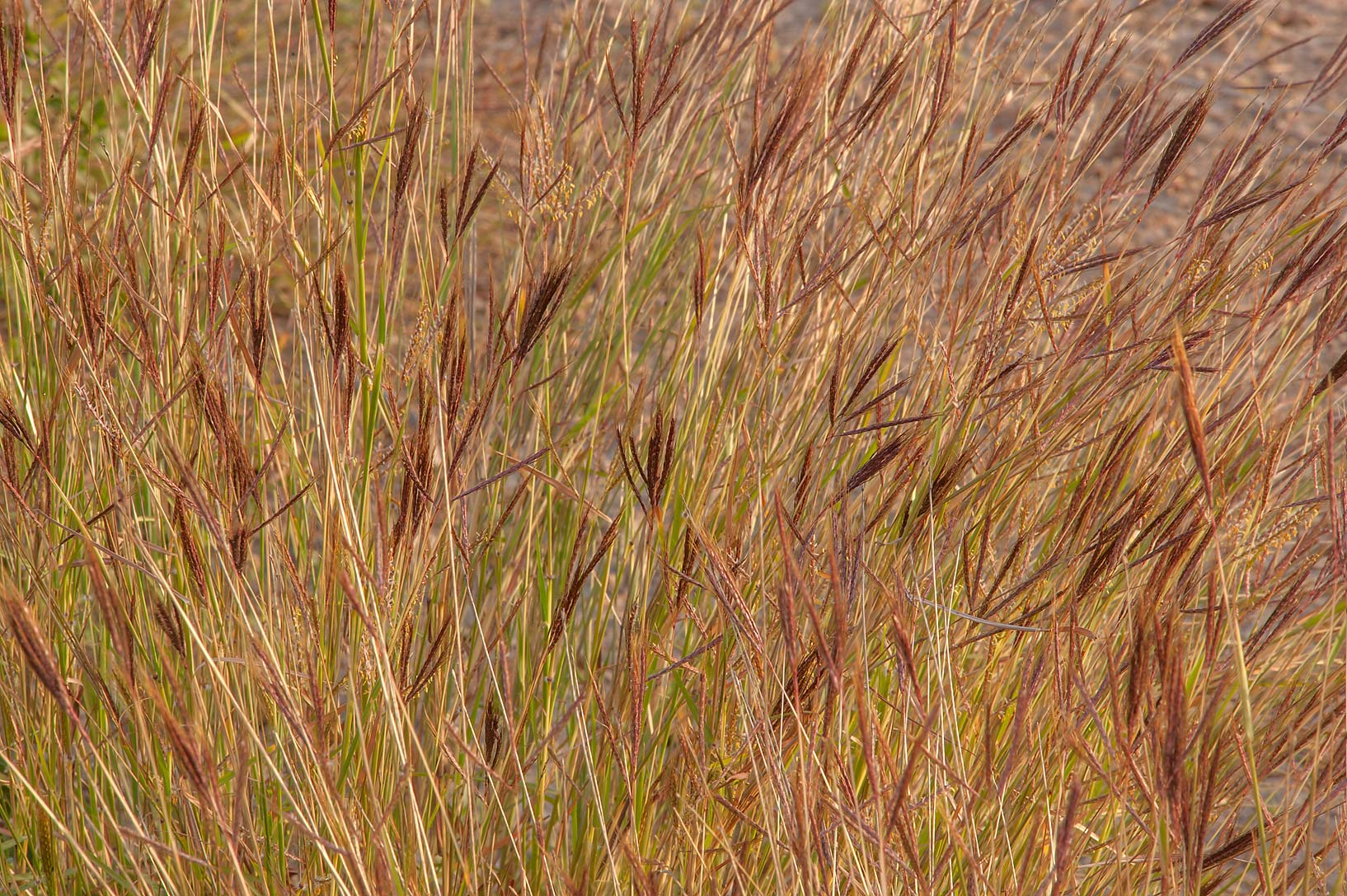 Hindi grass (Diaz bluestem, Dichanthium annulatum...of Al Magdah farms. Northern Qatar