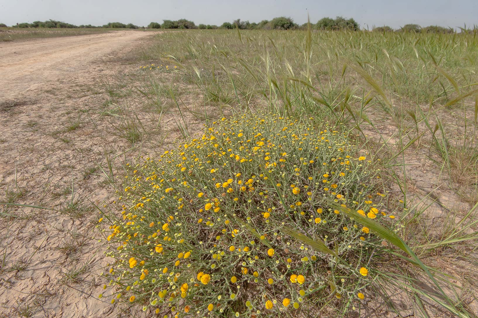 Blooming Pulicaria undulata in a field of spear...near Al Zubara Rd.. Northern Qatar