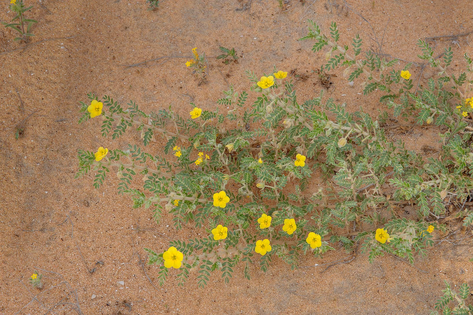 Tribulus macropterus var. arabicus in flower on...Reserve near Abu Samra. Southern Qatar