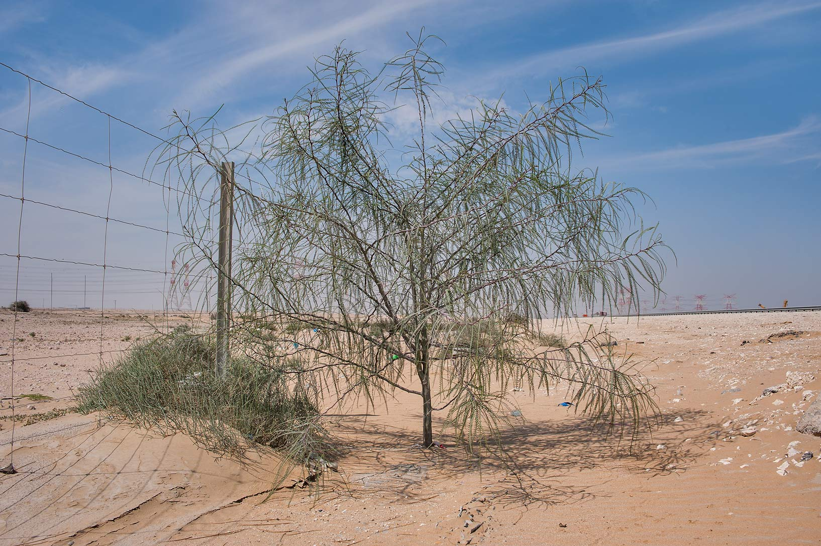 Horsebean (paloverde, Ratama, Parkinsonia...roadside of a road to Mesaieed. Qatar
