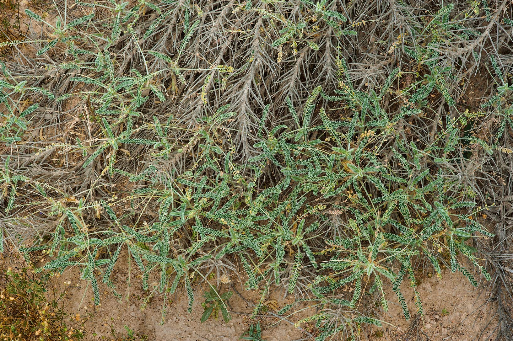Half dry plant of Astragalus sieberi on periphery...Irkaya) Farms. South-western Qatar