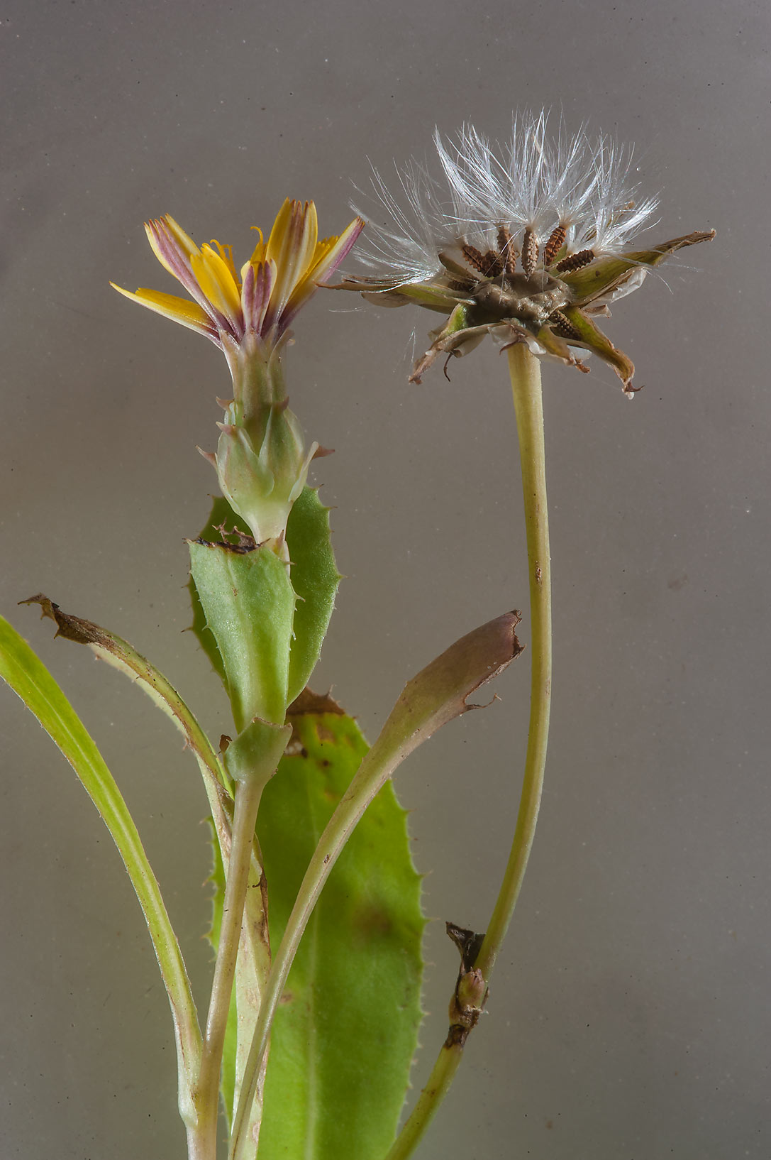 Flower and seeds of false sowthistle (Reichardia...of Ras Laffan farms. Northern Qatar