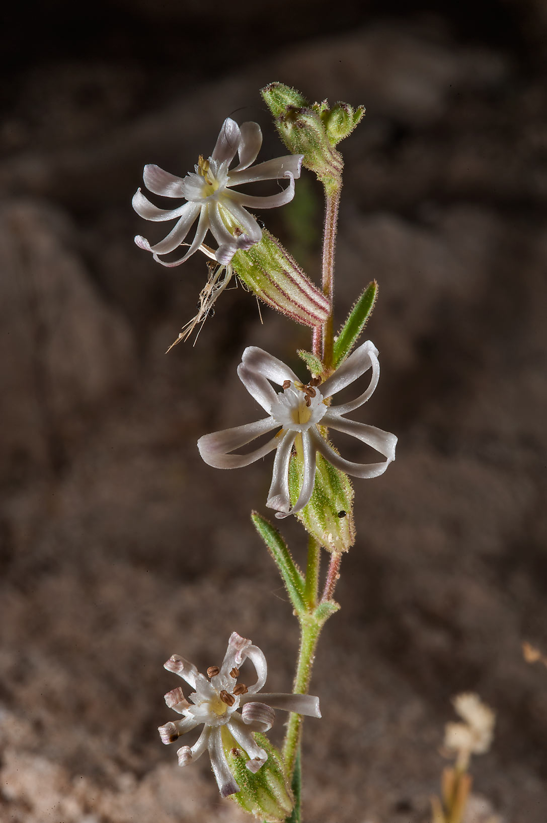 Silene arabica (Silene affinis, local name terba) south from Fuwairit. Northern Qatar