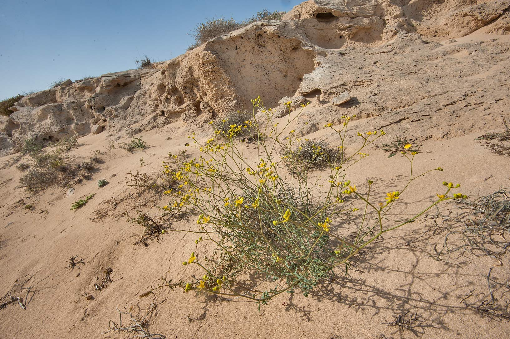 Plant of Haplophyllum tuberculatum (local name...of Jebel Fuwairit. Northern Qatar