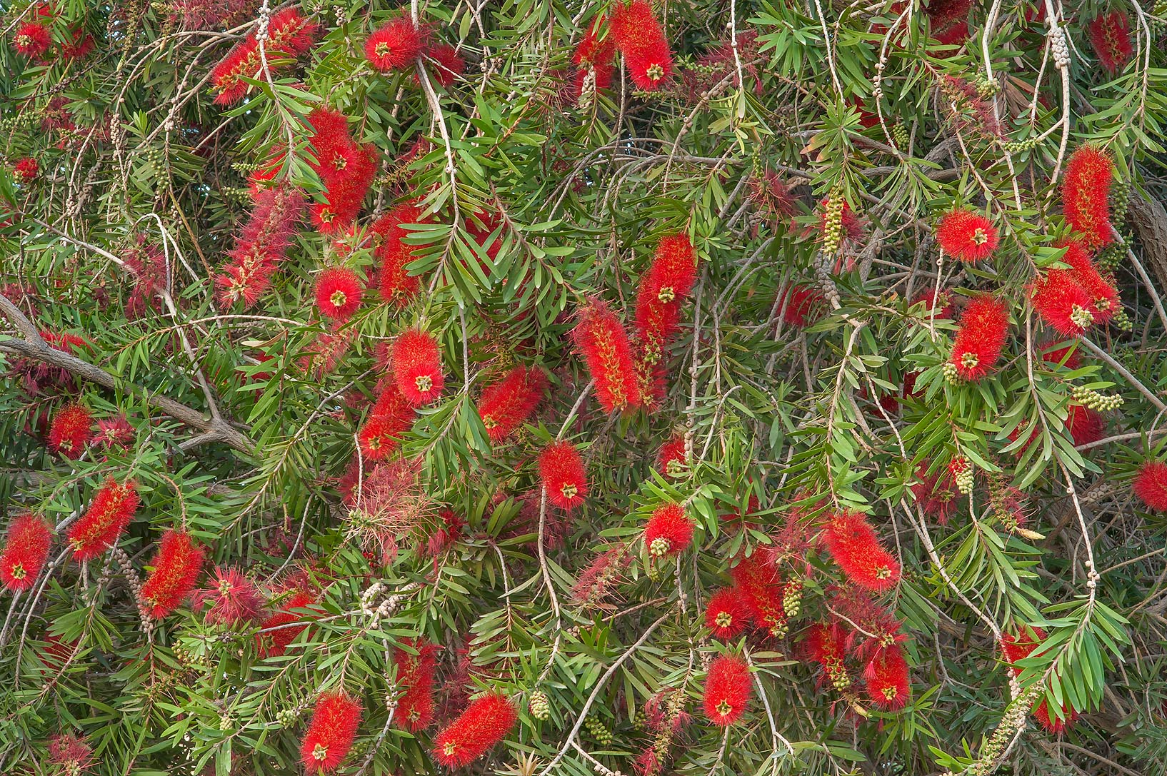 Weeping bottlebrush (Callistemon viminalis ) in...Park at Al Markhiya St.. Doha, Qatar