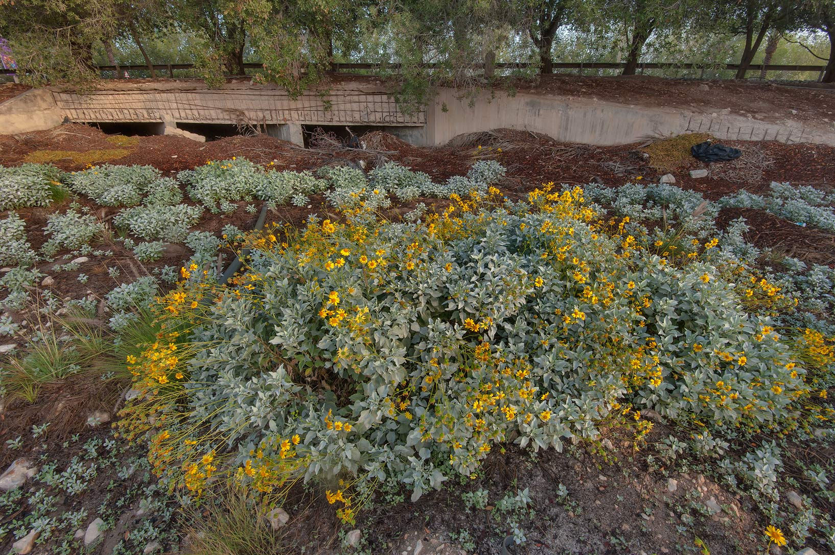 Blooming daisy bush (Brachyglottis greyi) in a park of Qatar University. Doha, Qatar