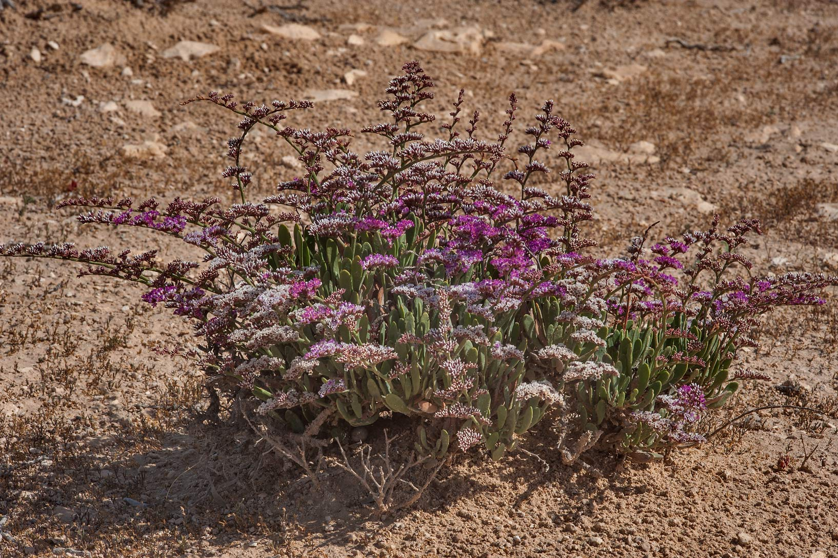 Plant of sea lavender (Qetaif, Limonium axillare...on north-eastern coast. Qatar