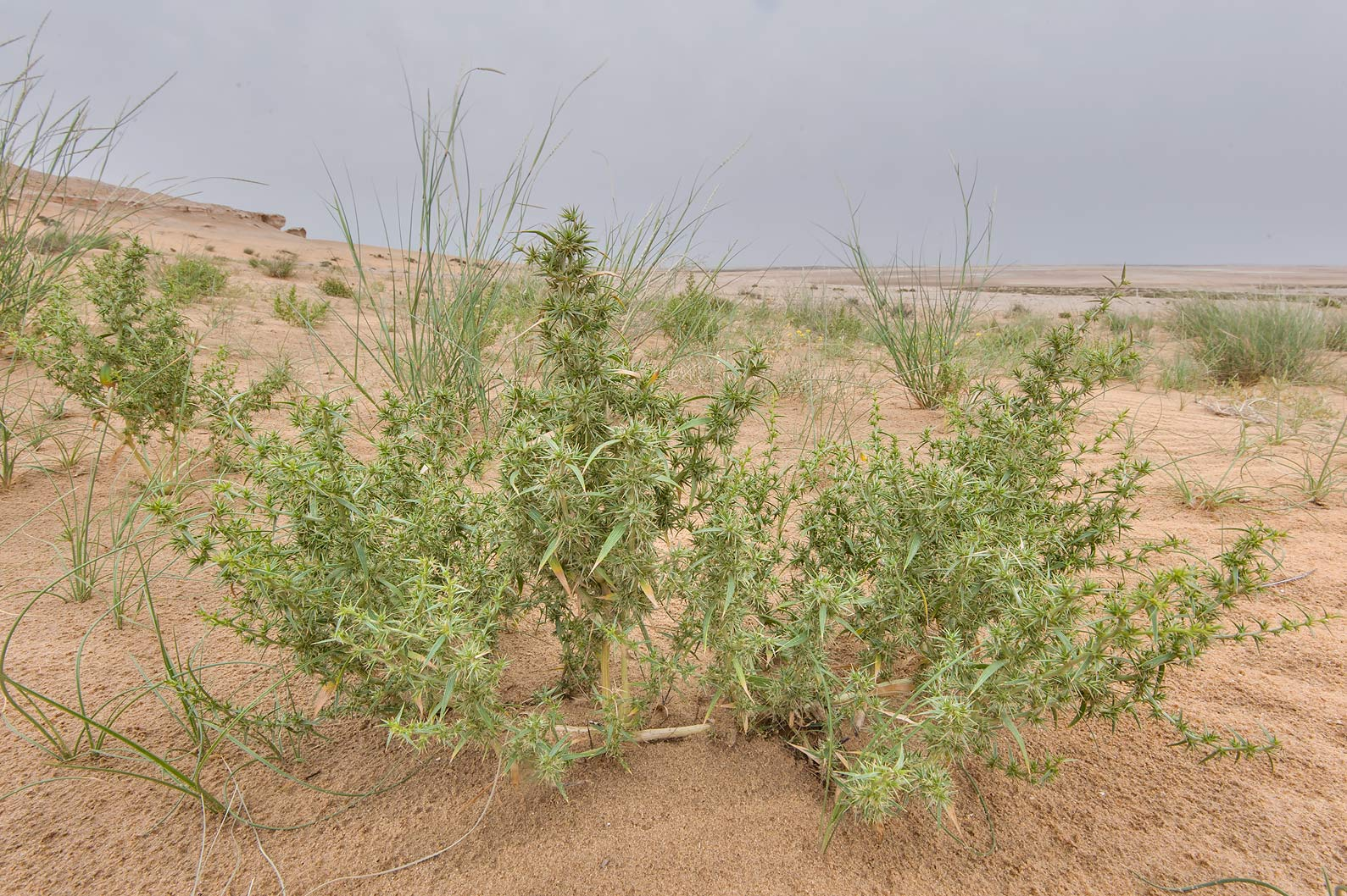 Bush of Agriophyllum minus at the foot of...Reserve near Abu Samra. Southern Qatar
