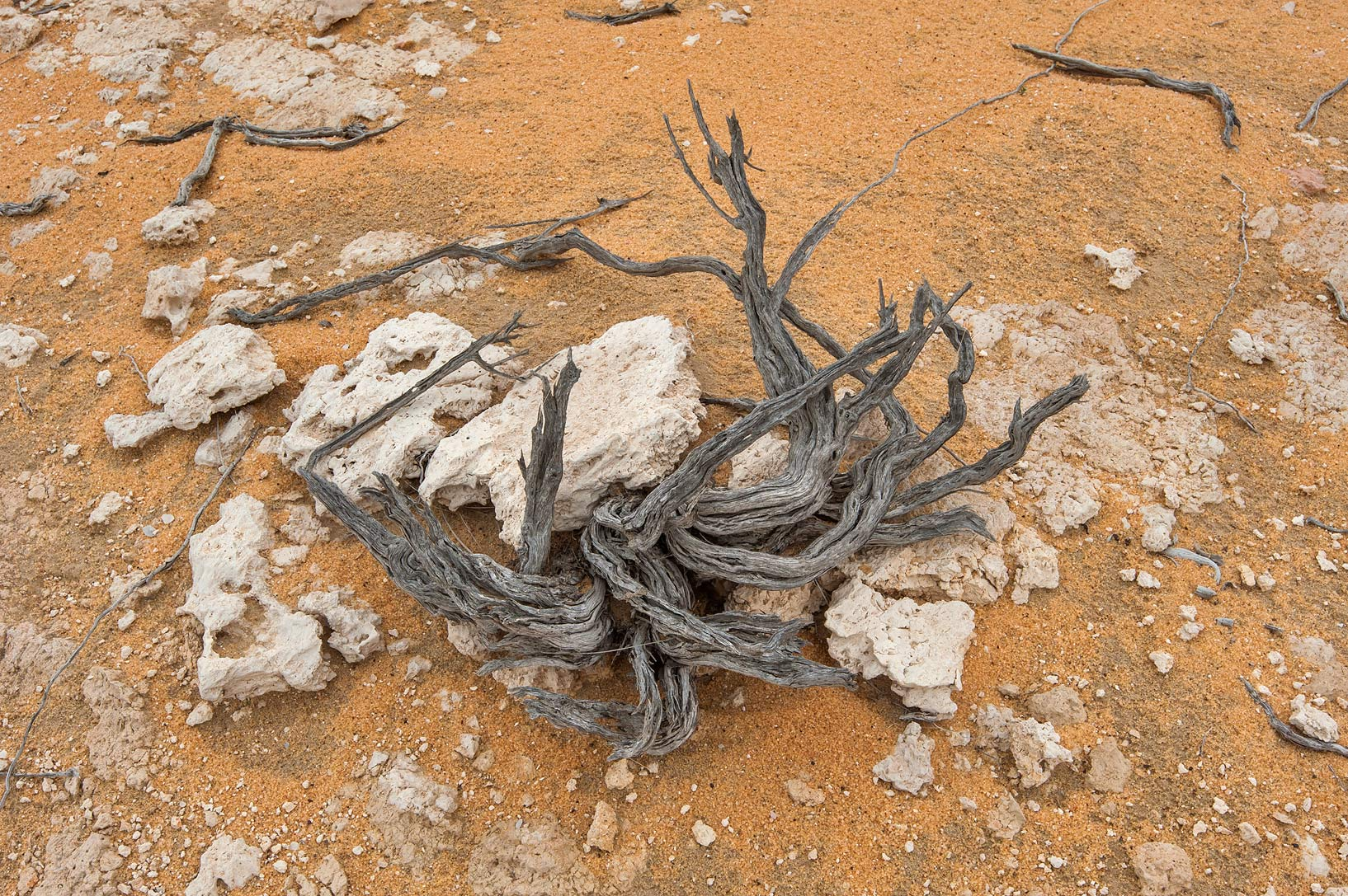 Weathered dry wood remained from a bush on a...Reserve near Abu Samra. Southern Qatar