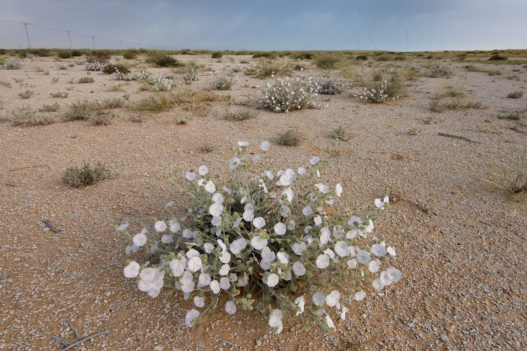 Blooming plant of Morning glory (Convolvulus...Reserve near Abu Samra. Southern Qatar