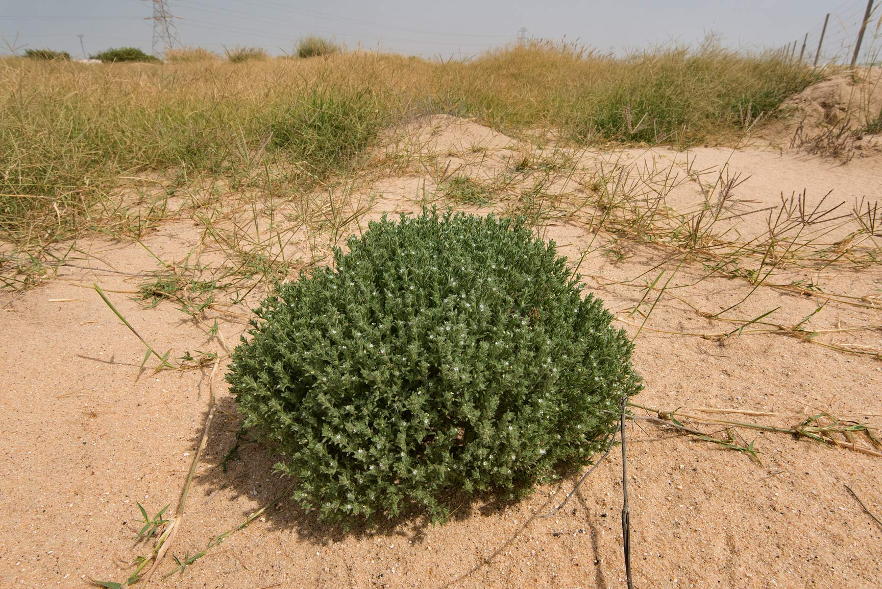 Compact bush of Ogastemma pusillum (Anchusa...from Khawzan to Al-Jumayliyah. Qatar