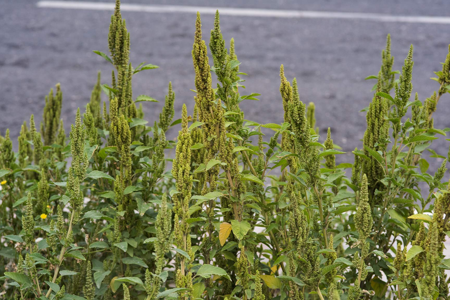 Slender amaranth (Amaranthus viridis) on the...St. in Onaiza area. Doha, Qatar