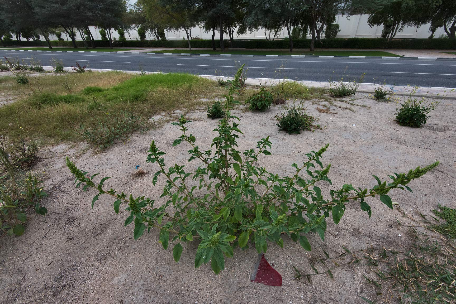 Amaranth (Amaranthus hybridus) on the median...St. in Onaiza area. Doha, Qatar
