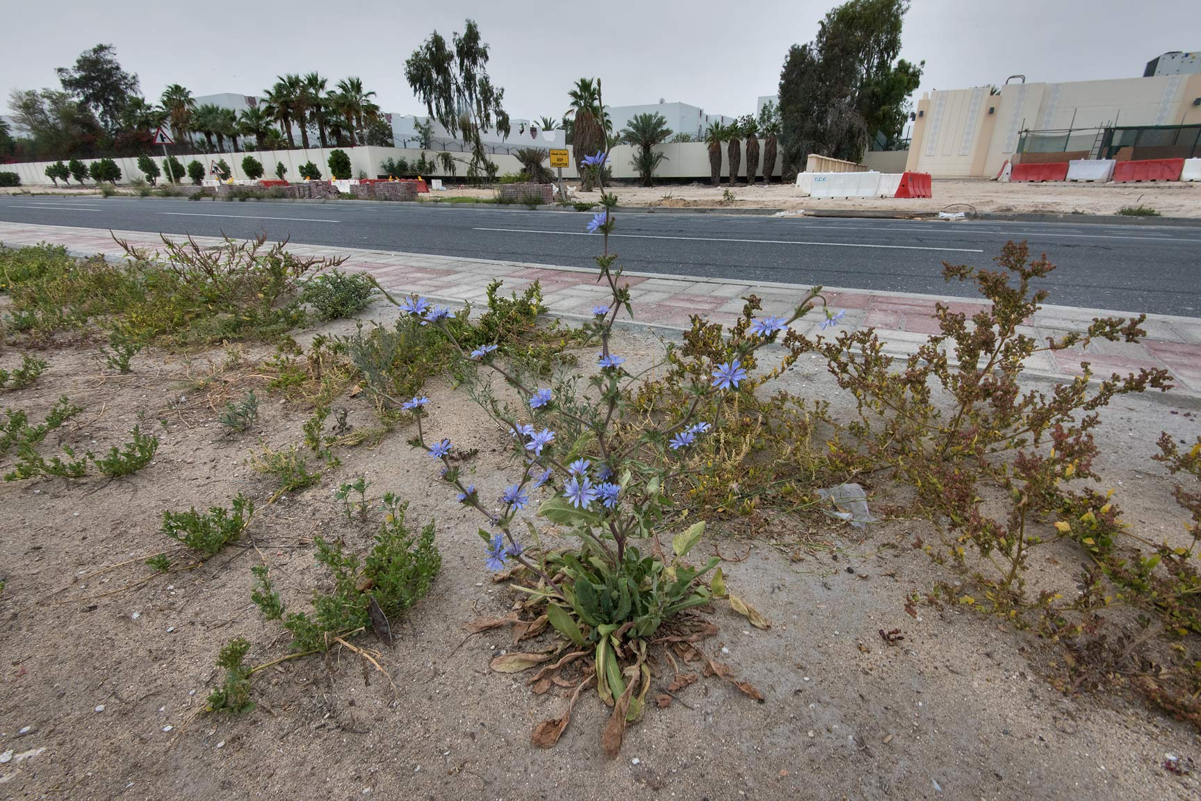 Blooming chicory (Cichorium pumilum) on the...St. in Onaiza area. Doha, Qatar