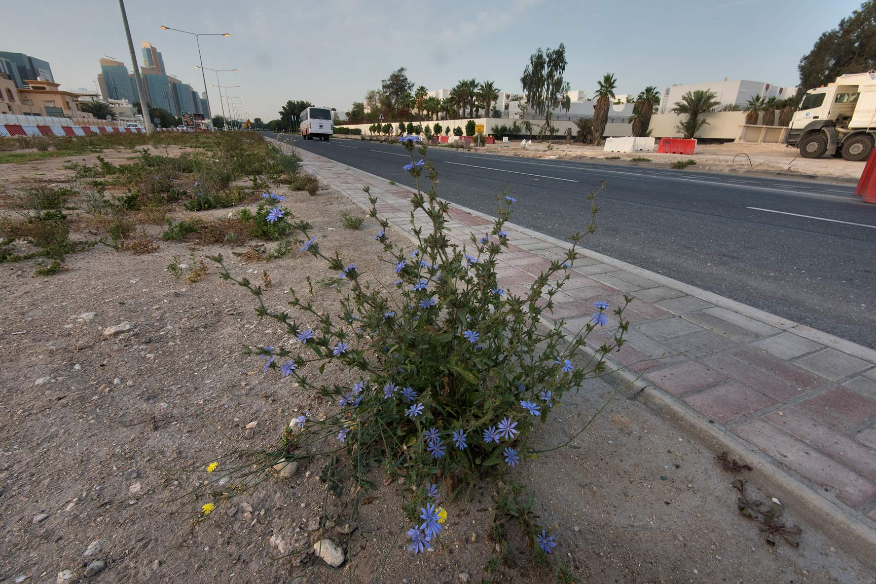 Wide angle view of chicory (Cichorium pumilum) on...St. in Onaiza area. Doha, Qatar