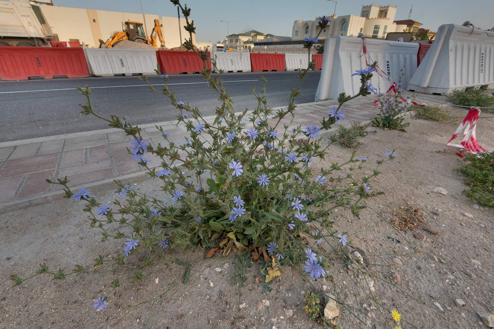 Blooming plant of chicory (Cichorium pumilum) on...St. in Onaiza area. Doha, Qatar