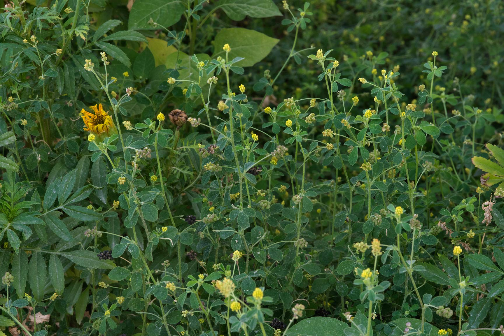 Masses of black medick (Medicago lupulina) at the...Shabi St. in Onaiza area. Doha, Qatar