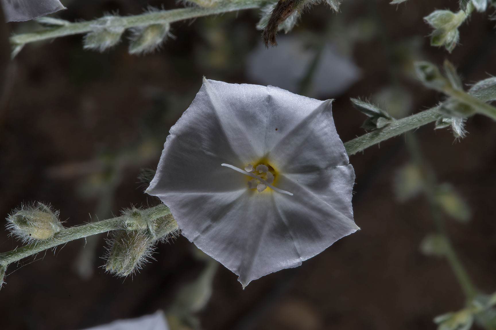 White flower of bushy bindweed (Convolvulus...in Irkhaya (Irkaya) Farms. Qatar