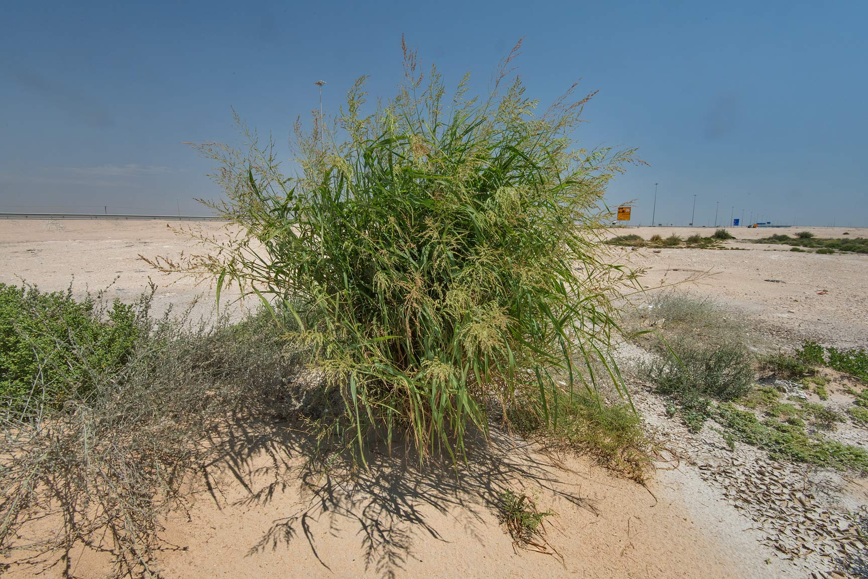Blue panicgrass (Panicum antidotale) in a roadside depression near Salwa Rd.. Qatar