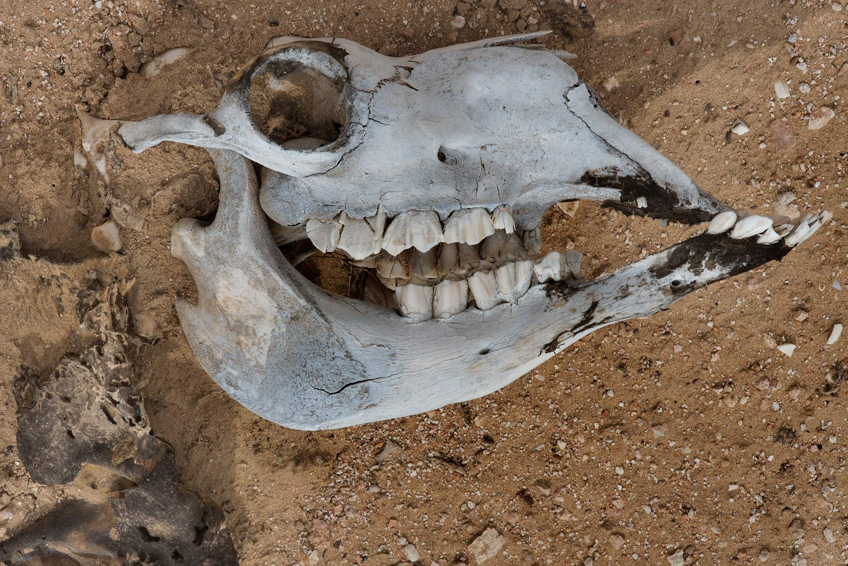 Skull of a camel on a gravel plane in Harrarah (Al Kharrarah). Southern Qatar