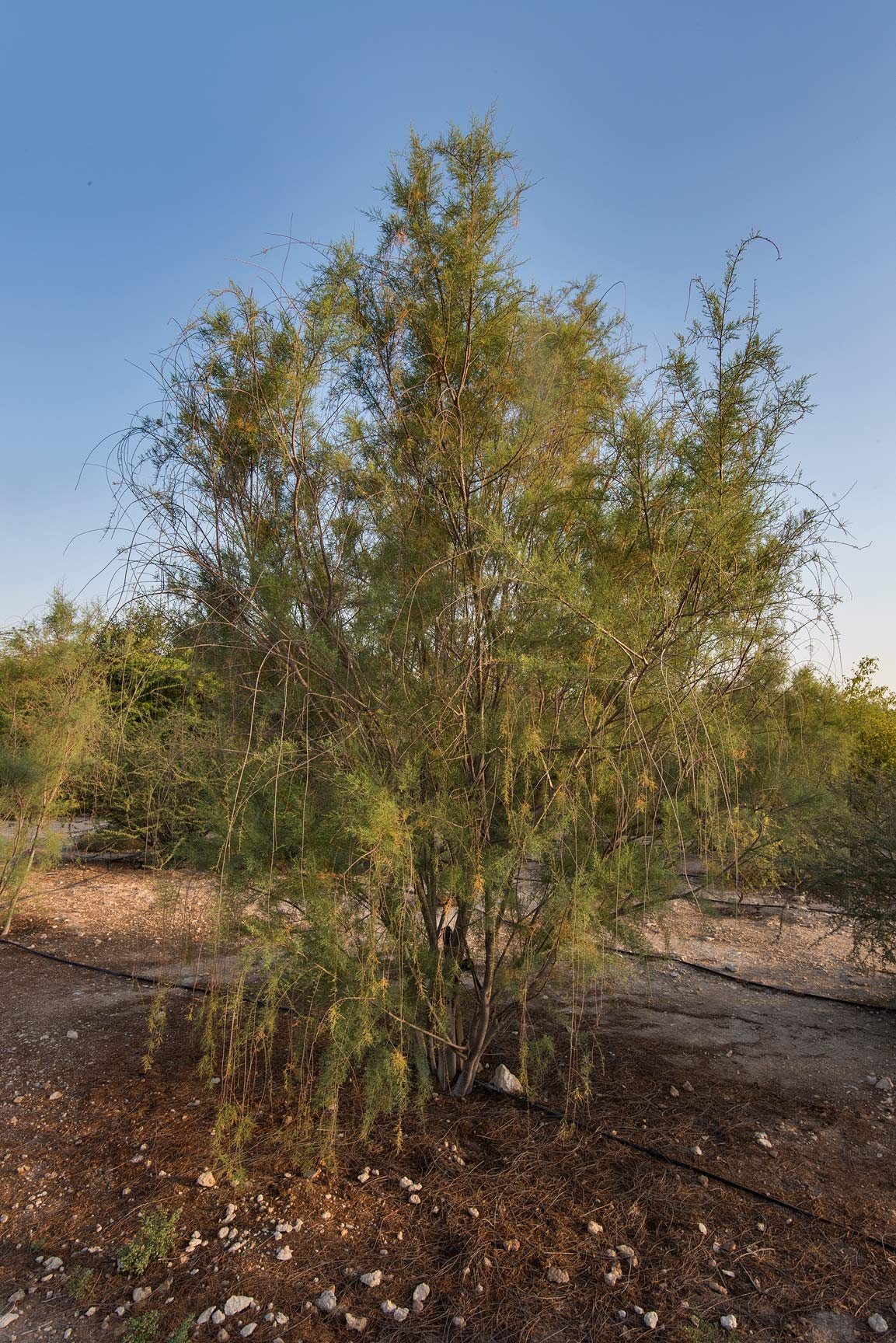 Tamarisk (Tamarix) tree in a park of Qatar University. Doha, Qatar