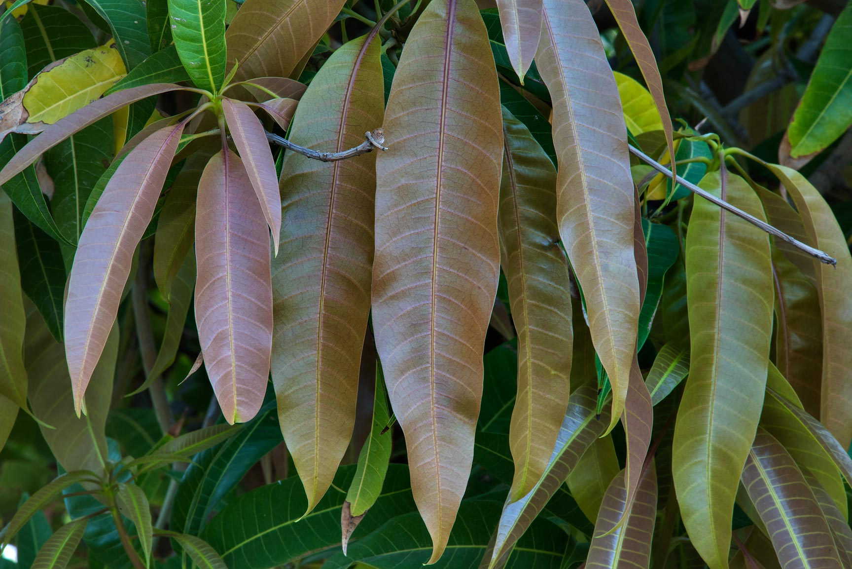 Glossy leaves of mango tree (Mangifera indica) in...Park at Al Markhiya St.. Doha, Qatar