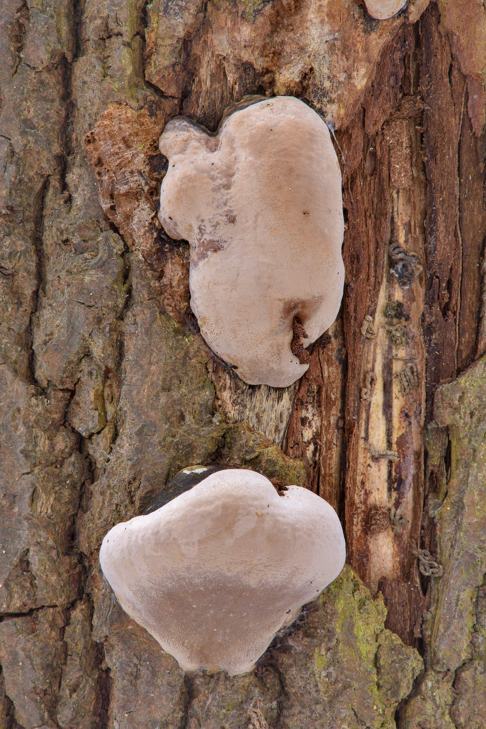 Young willow bracket fungus (Phellinus igniarius...Nos, west from St.Petersburg. Russia