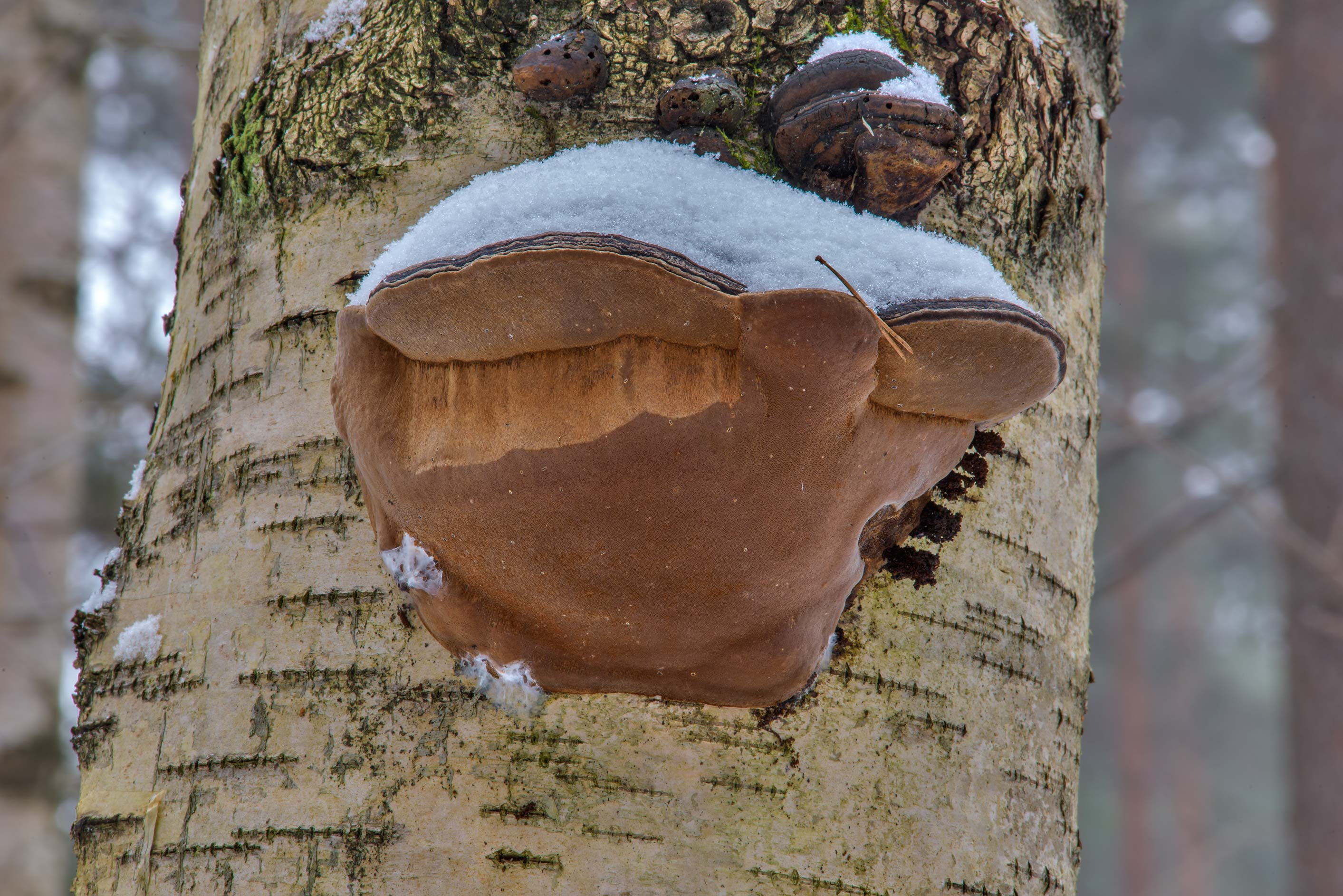 Willow bracket fungus (Phellinus igniarius...Park. St.Petersburg, Russia