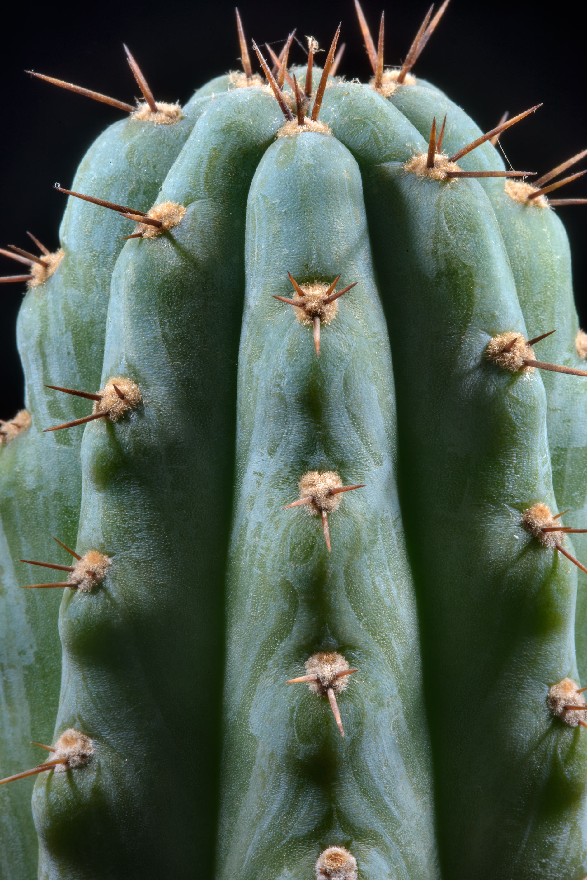 Cereus cactus with short needles in greenhouses...Institute. St.Petersburg, Russia
