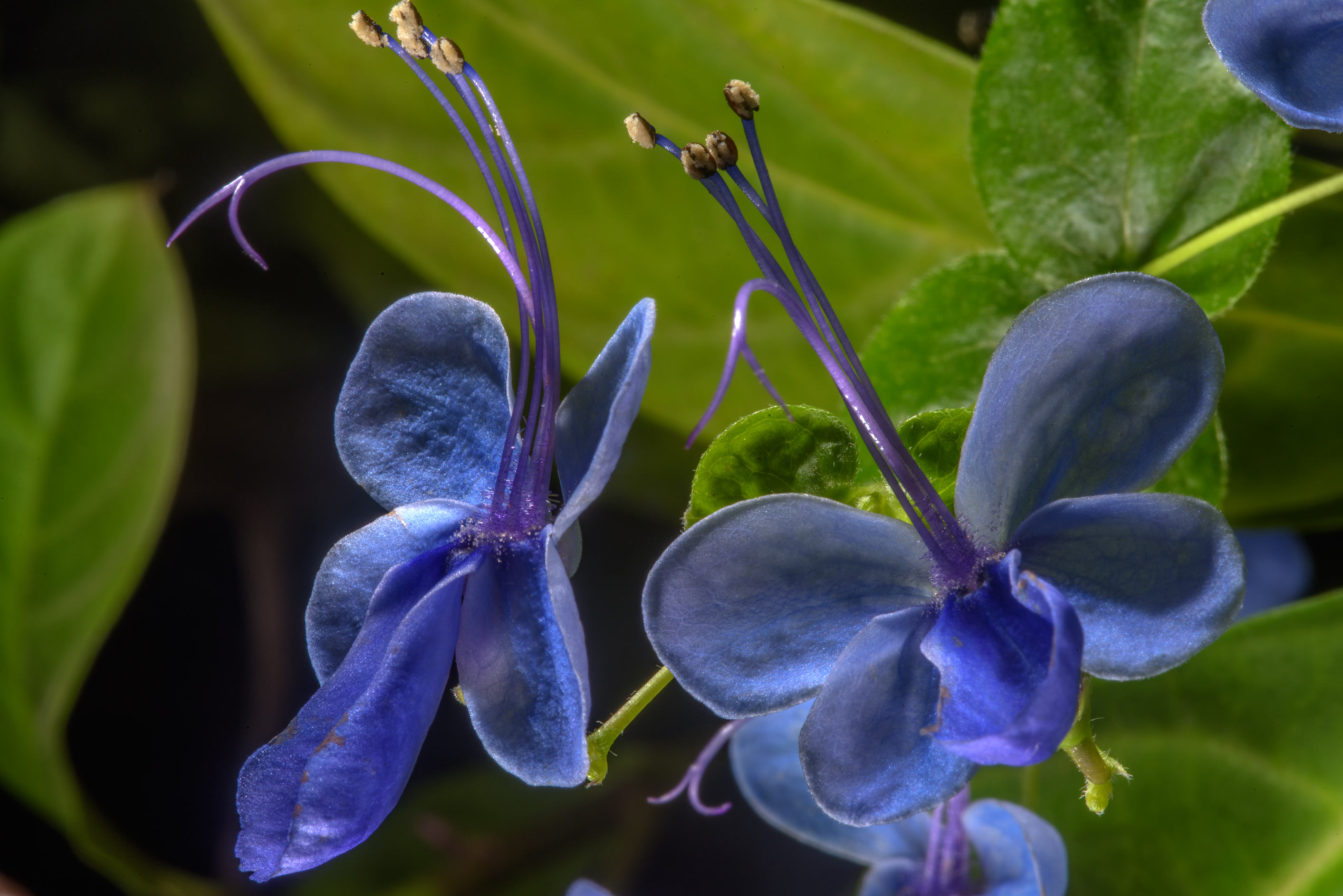 Blue butterfly bush flowers (Clerodendrum) in...Institute. St.Petersburg, Russia