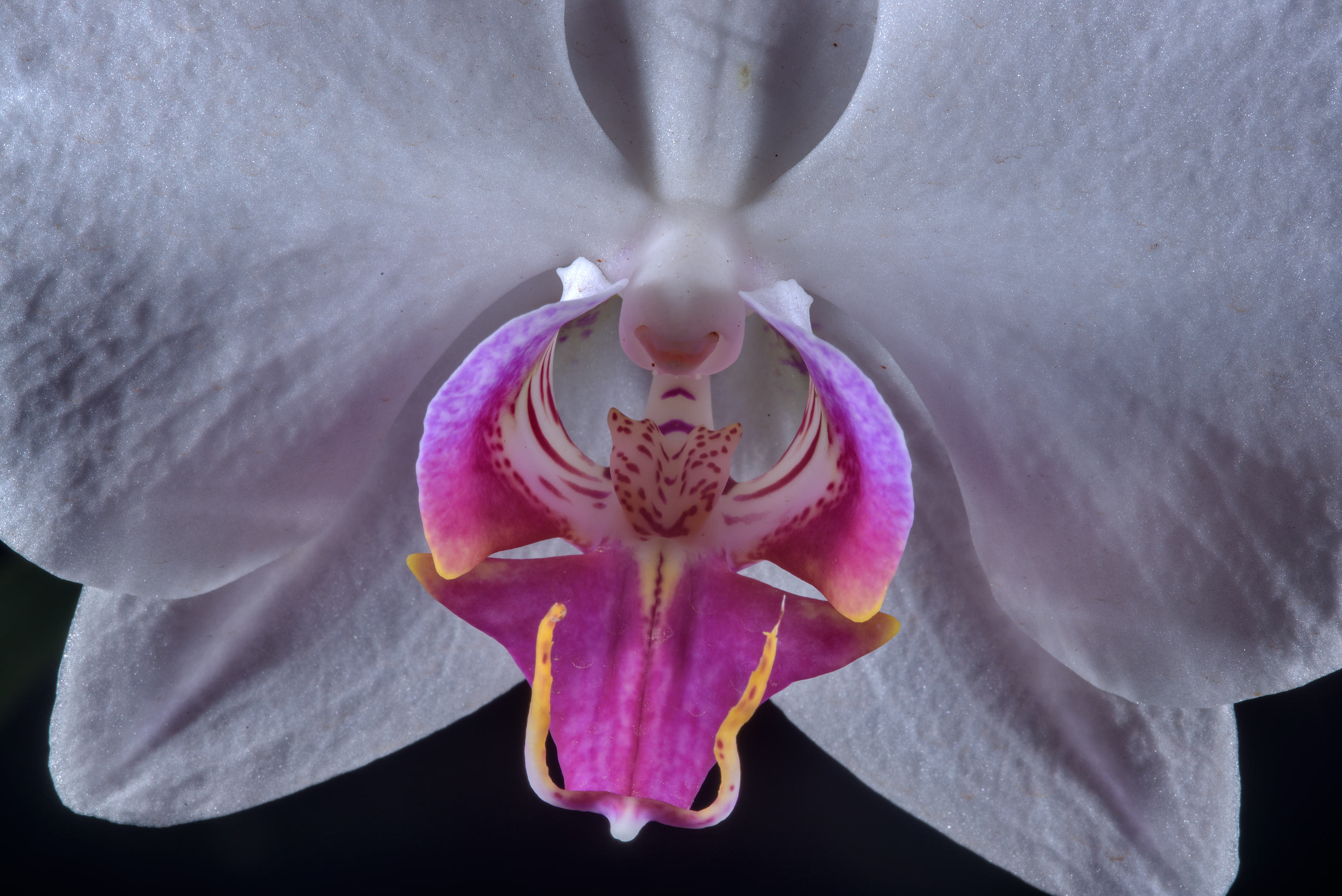 Detail of an orchid flower in greenhouses of...Institute. St.Petersburg, Russia