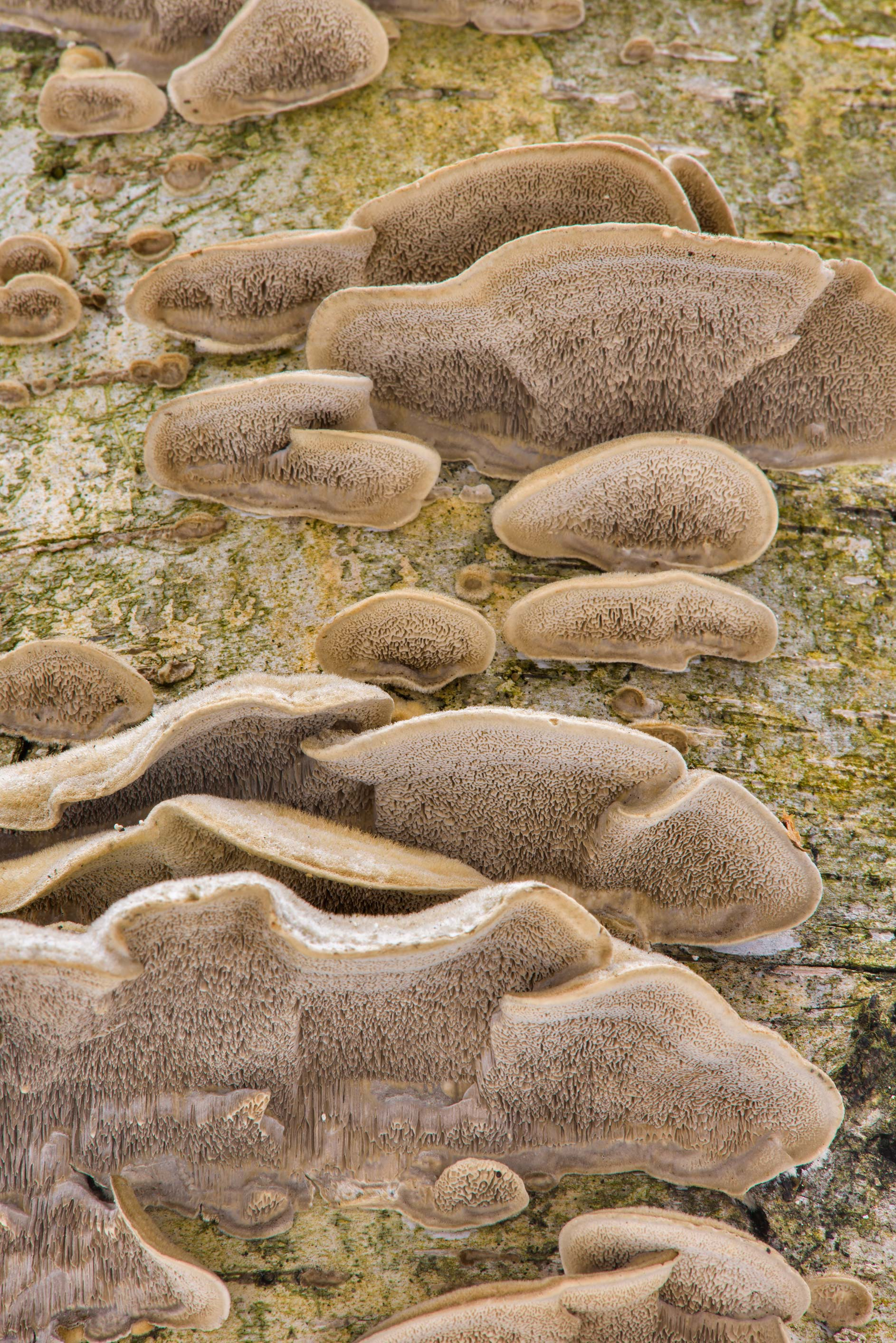 Mossy maze polypore mushrooms (Cerrena unicolor) in Udelny Park. St.Petersburg, Russia