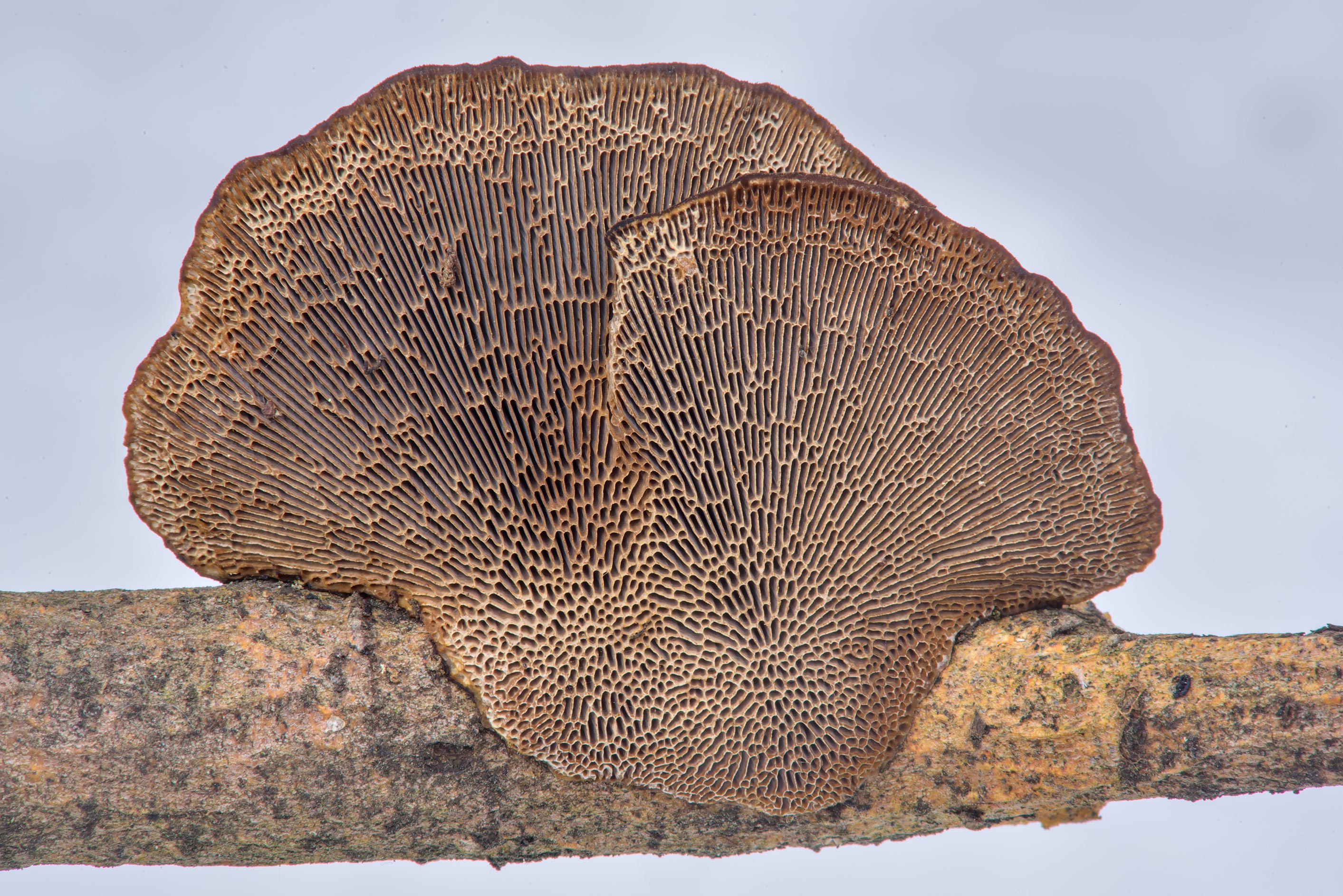 Pores of thin-walled maze polypore mushroom...Park. St.Petersburg, Russia