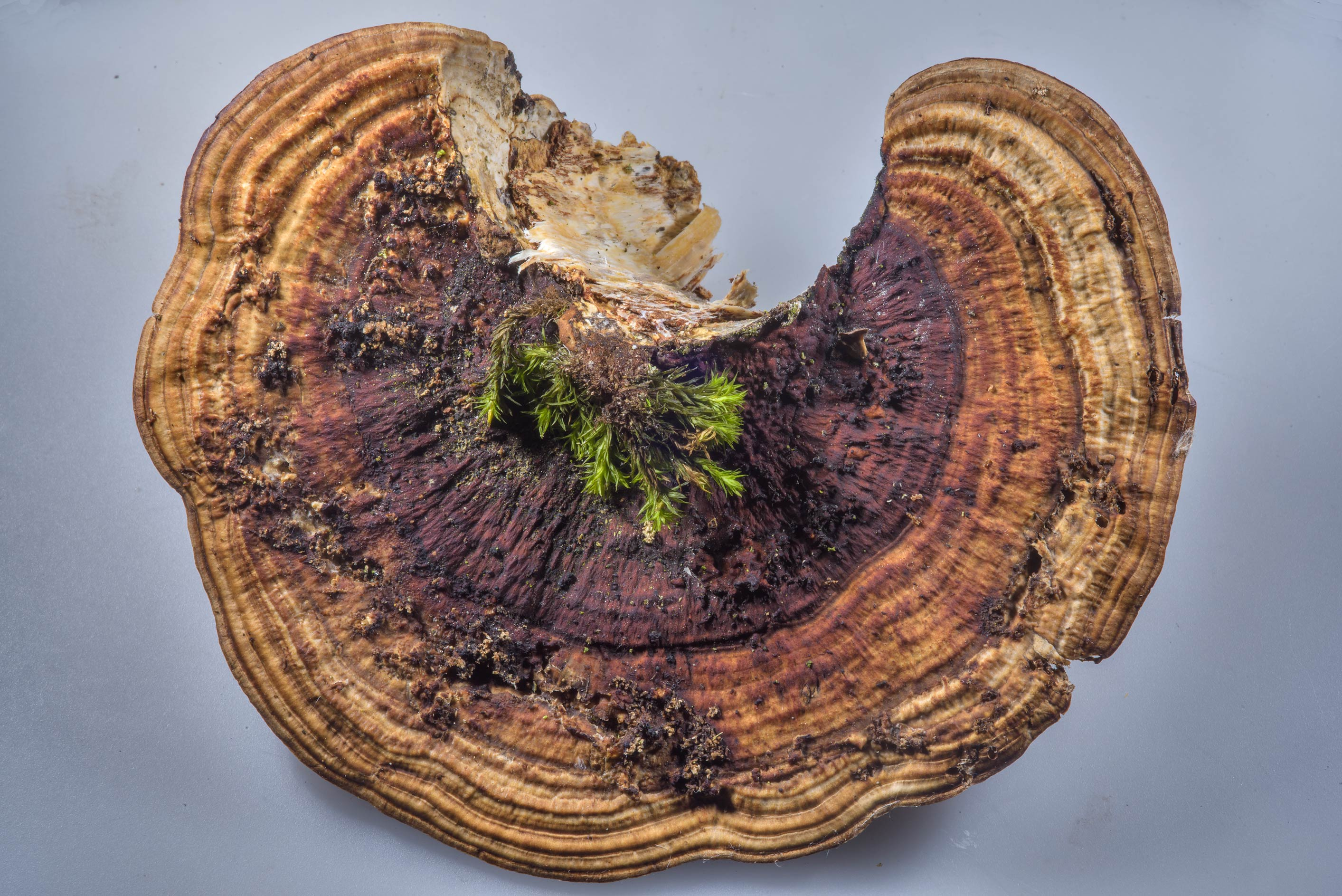 Zones on a cap of thin-walled maze polypore...Park. St.Petersburg, Russia