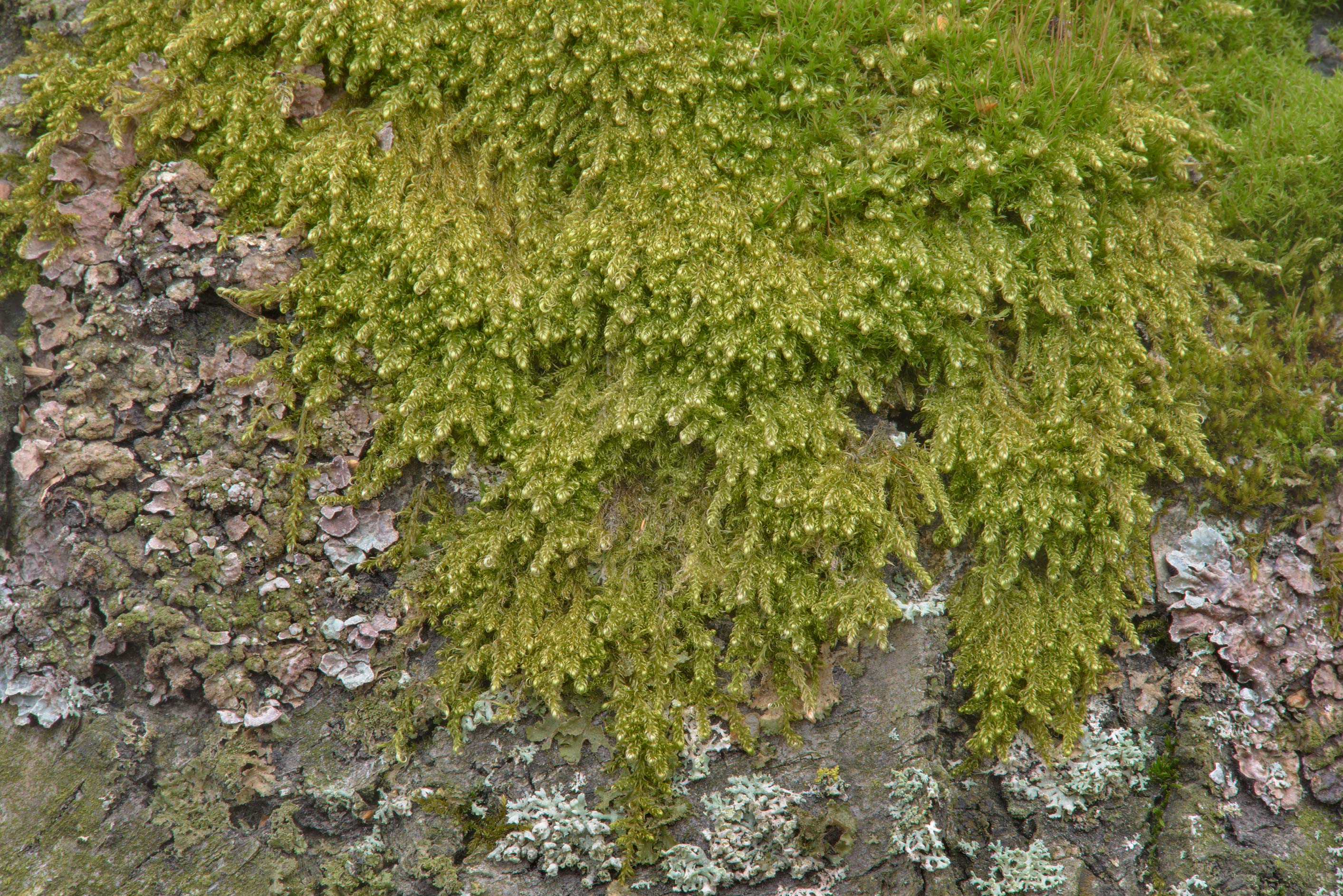 Moss on a birch tree in Botanic Gardens of...Institute. St.Petersburg, Russia